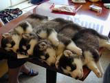 Aneinandergereihte Hunde