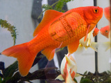 Bierfisch
