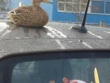 Ente versteckt sich