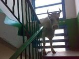 Stier auf der Treppe