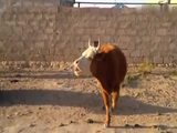 Meckernde Kuh