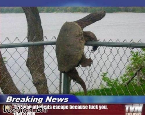 geflohene Schildkröte