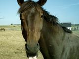 Pferdezunge