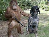 Affe geht Gassi