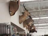 Starrende Antilope