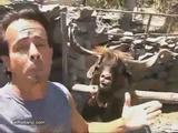 Streitlustiger Ibex
