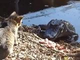 Katze gegen Kroko